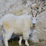 Witte berggeit | Kleine Reizigers